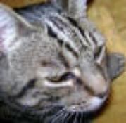 Bengali Cat Pegavko